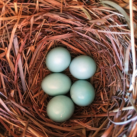 Beautiful bluebird nest