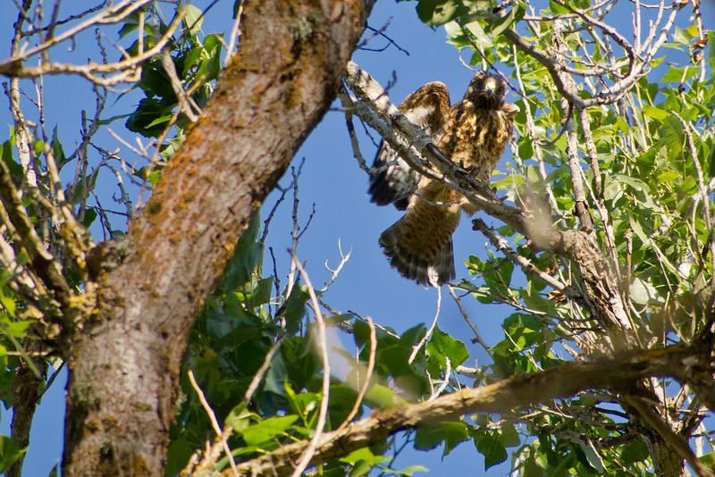 Daring juvenile climbing onto branch and balancing- part 2