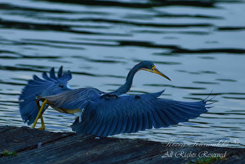 Tri Color Heron.  Everglades National Park, South Florida.