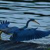 Tri Color Heron.  Everglades National Park, South Florida.
