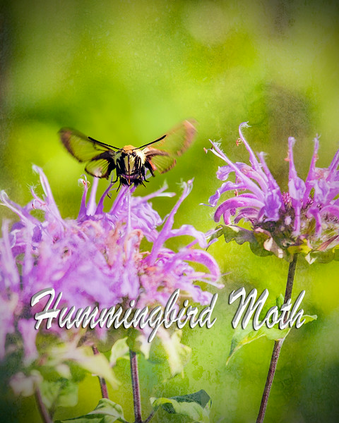 Hummingbird Moth Head On