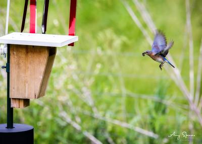 Mother bluebird