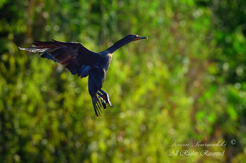Cormorant.  Everglades Park, South Florida.