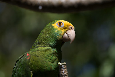 Yellow headed parrot in the tree. Dangriga, Stann Creek, Belize
