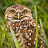 Burrowing Owl Portrait in the Grass