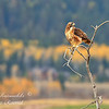Red Tailed Hawk.  Wilson, Wyoming.