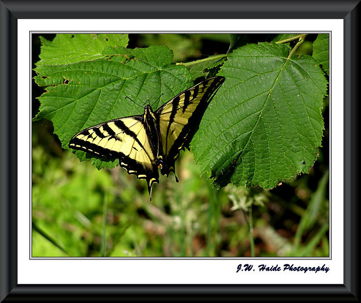 Monarch Butterfly in Cook Park in Tigard, Oregon