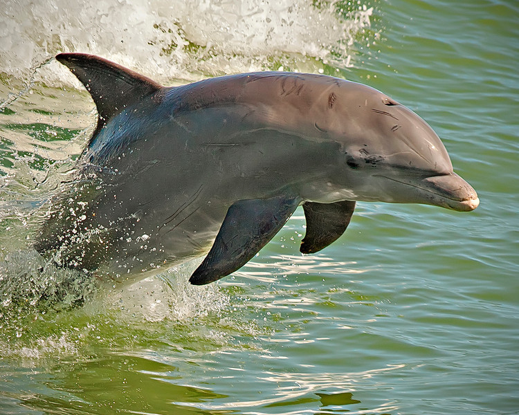 They call him Flipper, Filpper, faster than lightening....<br /> <br /> Dolphin photos taken in the wild near Sanibel Island, Florida.
