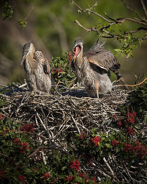 Hungry Blue Heron babies