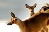 Funny deer at Woolaroc Oklahoma
