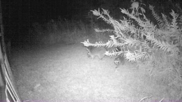 Raccoon Video Clips 9-1-2017