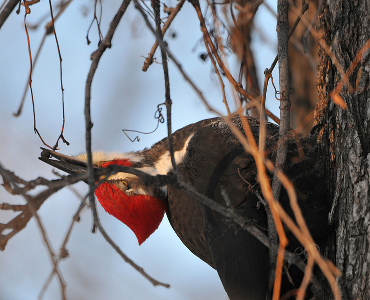 Pileated Woodpecker 03