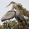 Blue Heron Pair<br /> Venice Rookery in Florida