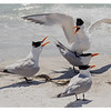 Mating Pair of Royal Terns...with audience!