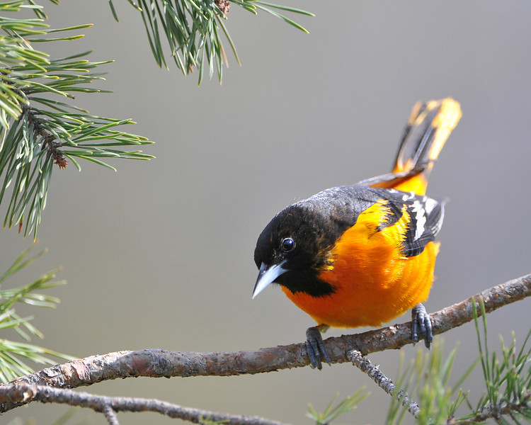 Baltimore Oriole 02