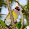 Lady Gouldian Finch