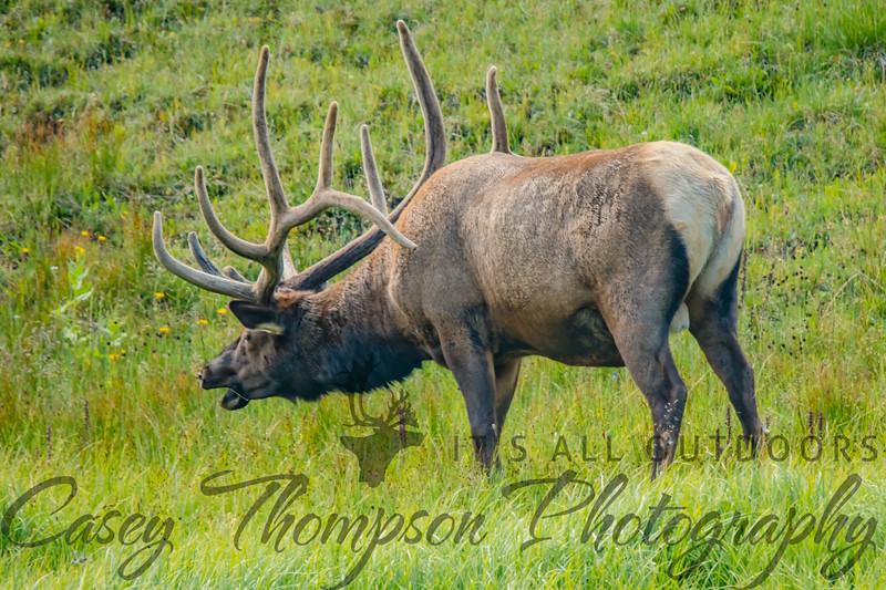 Bull ELk 8-3-18-0989