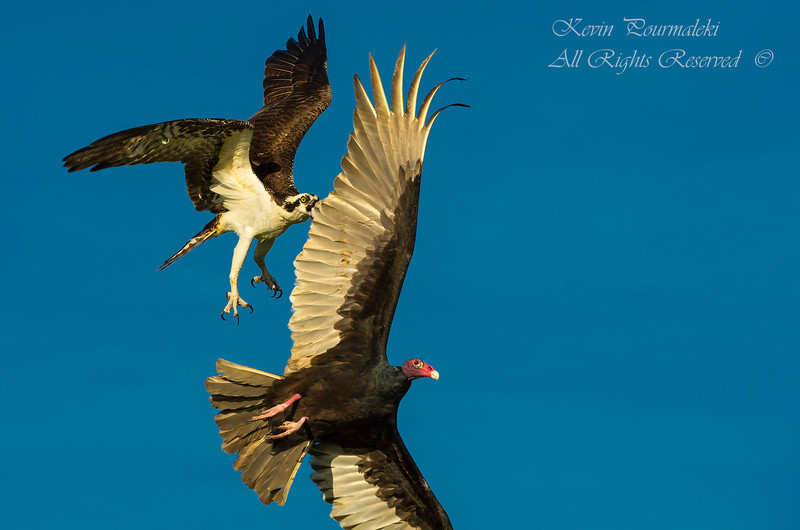 Osprey attacking a Turkey Vulture defending her nest.  Everglades National Park, South Florida.