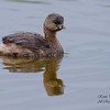Pied-Billed Grebe. Everglades National Park, South Florida.
