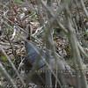 North Carolina Wild Turkey female