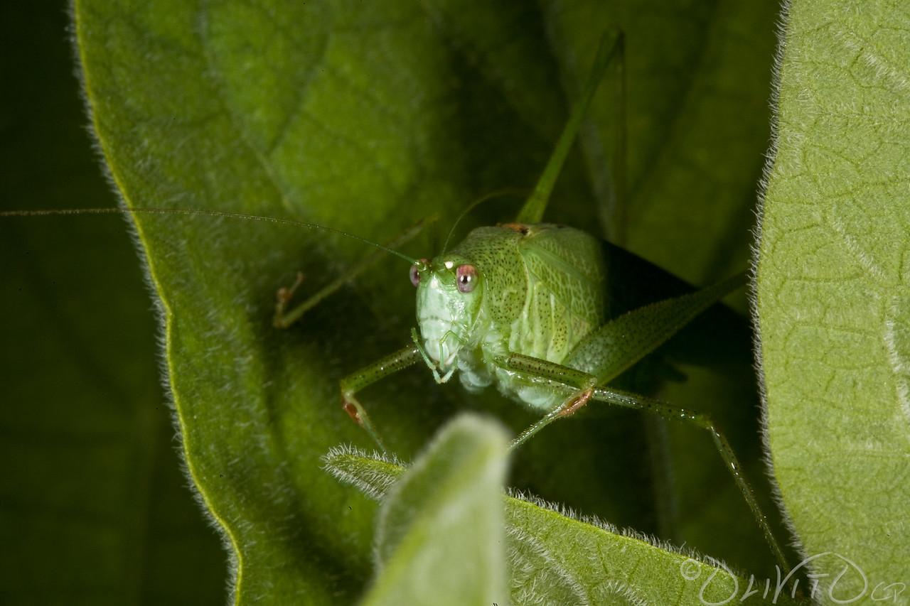 Grashopper-32