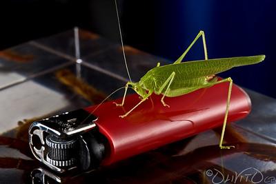 Grashopper-20