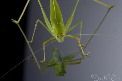 Grashopper-51