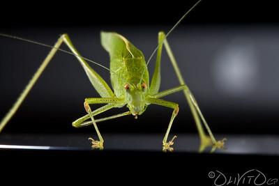Grashopper-38
