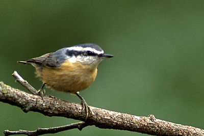 Red-Brested Nuthatch     760