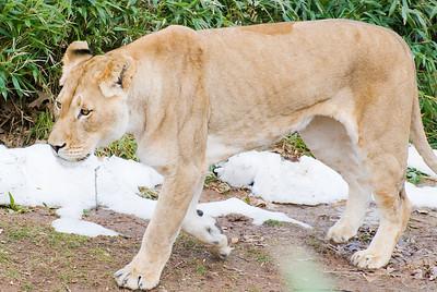 Winter Lions