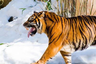 Winter Tigers