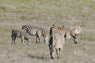 Zebras of San Simeon, CA