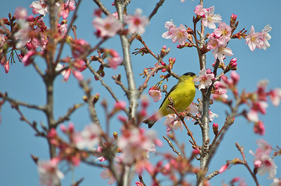 Yellow bird feeding on cherry blossom