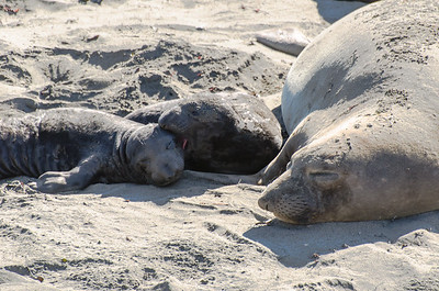 Baby Elephant Seal pups with their mother.