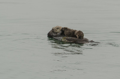 Sea Otter with baby pup