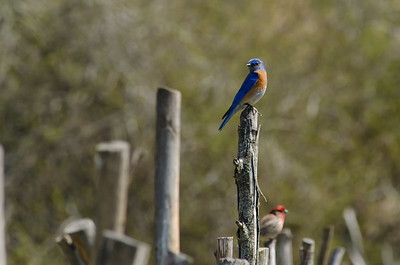Blue bird and red bird