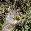 Squirrel eating a clover flower