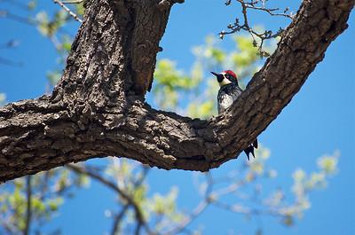 Woodpecker in an oak tree
