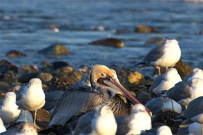 Pelican among Seagulls