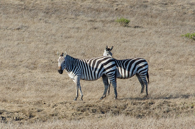 Zebras of San Simeon