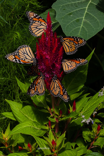 Monarchs on Celosia