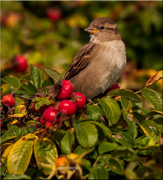 Chipping Sparrow in the Rose Hips