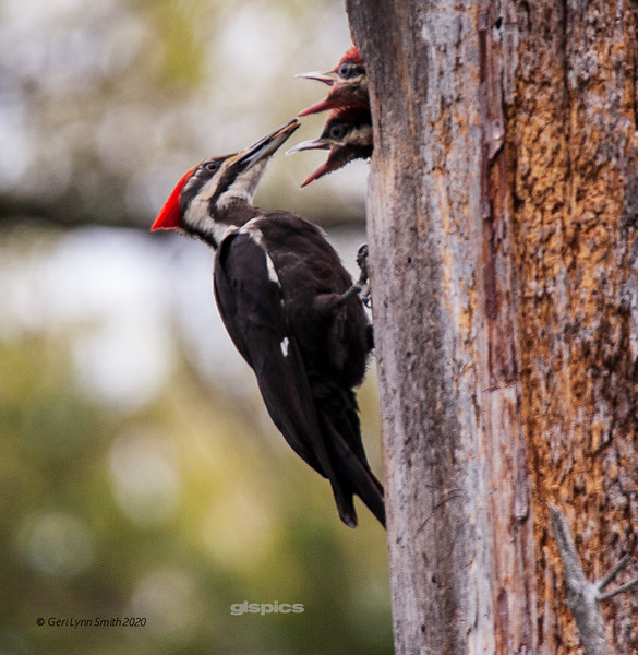 Pileated Woodpecker and Chicks