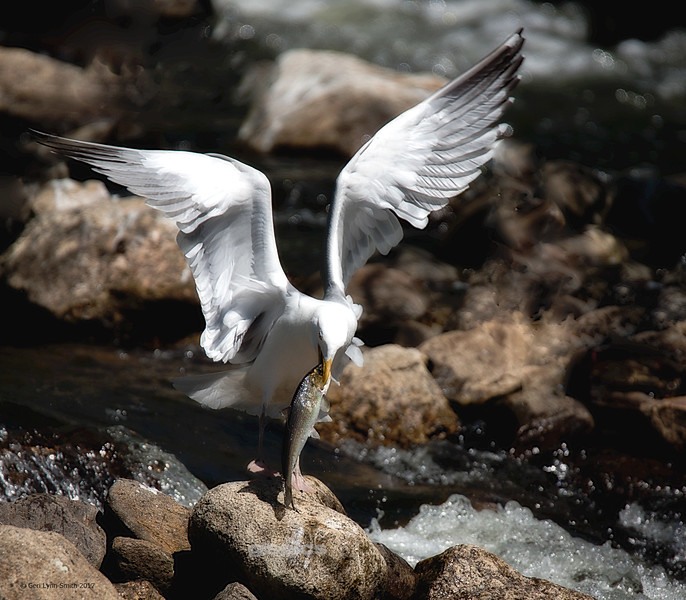 Gull with Alewife