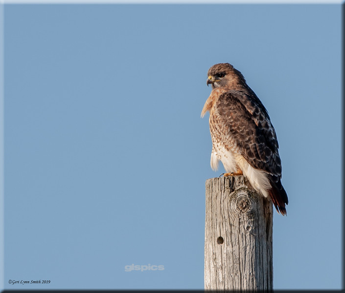 Red Tailed Hawk on a Post