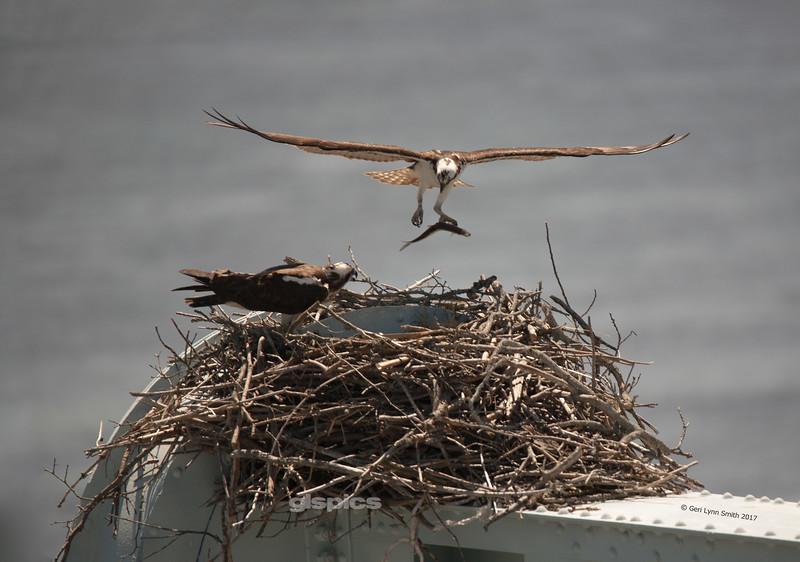 Osprey Bringing Dinner to the Nest