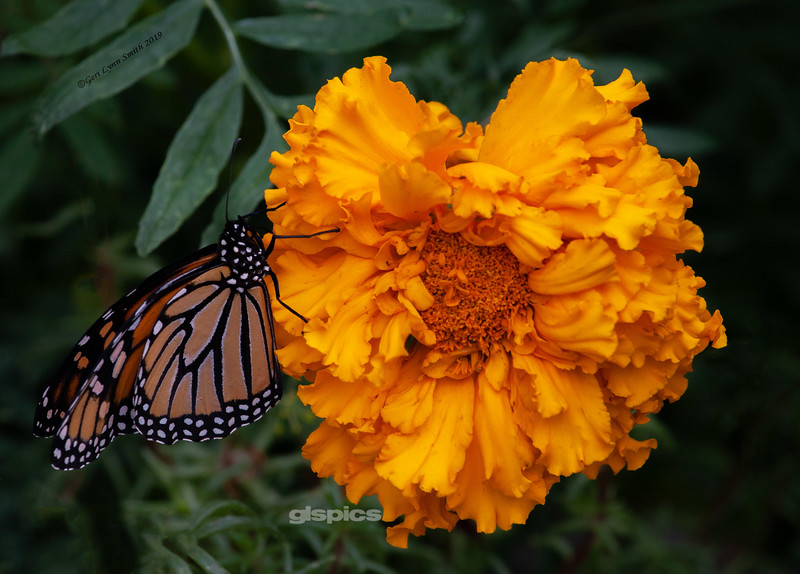 Monarch butterfly love