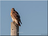 Red Tailed Hawk Curious