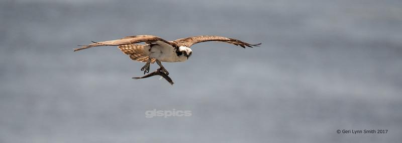 Osprey in Bath, Maine