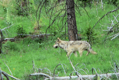 The Gray Wolf (Canis lupus; also spelled Grey Wolf,  also known as Timber Wolf or Wolf)